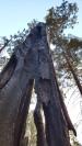 Living burnt tree